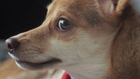 Liten hund, husdjur, närbild arkivfilmer