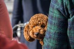 Liten hund i arm Royaltyfri Bild