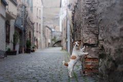 Liten hund i den gamla staden Ett husdjur i staden arkivbild