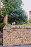 Liten hund i gatorna av Rennes royaltyfri foto