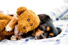 Liten hund i säng som kelar en gullig brun nallebjörn royaltyfria bilder