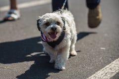 Liten hund i självständighetsdagendräkt Arkivfoton