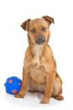 Liten hund med bollen som isoleras på vit arkivfoton