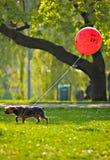 Liten hund med röd gps-ballon Royaltyfria Bilder