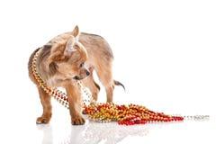 Liten hund med skägg som isoleras på vit bakgrund Arkivfoton
