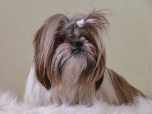 Liten hund på fårskinn Royaltyfri Fotografi