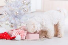 Liten hund som är nyfiken om hans gåvor Royaltyfri Bild