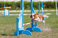Liten hund som hoppar över ett hinder på dess kurs i konkurrens för hundvighetsport fotografering för bildbyråer