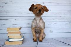Liten hund som läser en bok på en träbakgrund Royaltyfri Fotografi