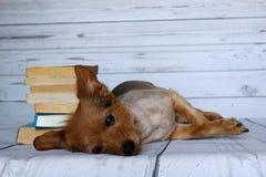 Liten hund som läser en bok på en träbakgrund Arkivfoto