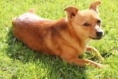 Liten hund som ligger på gräs royaltyfri bild