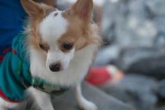Liten hund som söker efter något Fotografering för Bildbyråer