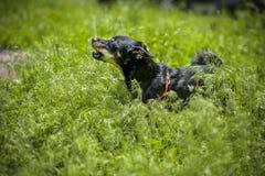 Liten hund som skäller i gräs Royaltyfri Bild