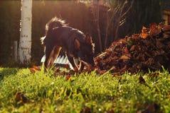 Liten hund som sniffar på gården Arkivfoto