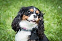 Liten hund som spelar på grönt gräs på den soliga dagen royaltyfri fotografi
