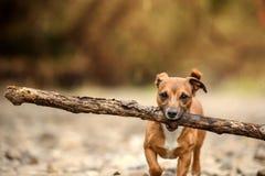 Liten hund, stor pinne Royaltyfri Fotografi