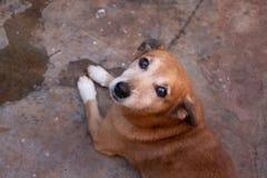 Liten hund utan stamträdet som kedjas fast i trädgård fotografering för bildbyråer