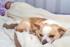 Liten hundchihuahua som sover i säng Royaltyfria Bilder