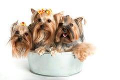 Liten hundkapplöpning Royaltyfria Foton