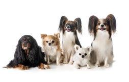 Liten hundkapplöpning i studio Royaltyfri Bild