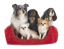 Liten hundkappl?pning i studio arkivbild