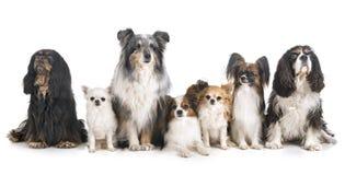 Liten hundkappl?pning i studio arkivbilder