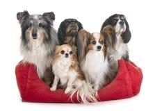 Liten hundkappl?pning i studio royaltyfria bilder