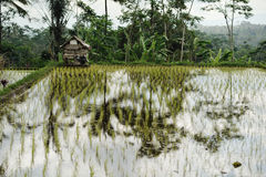 Liten hus och ricefield Royaltyfri Fotografi