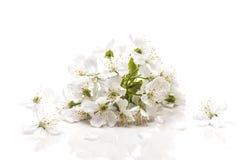 Liten inflorescence med körsbärsröda små vita blommor Arkivfoto