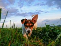 Liten Jack Russell Terrier undersökande värld royaltyfri fotografi