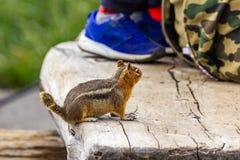 liten jordekorre ser fotvandrare vandrar att hoppas som finner mat arkivbild