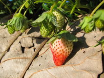 liten jordgubbe Arkivfoton