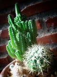 liten kaktus Arkivbild