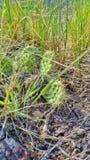 liten kaktus Arkivbilder