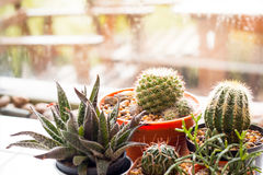 Liten kaktus i cray kruka på suddig bakgrund Fotografering för Bildbyråer