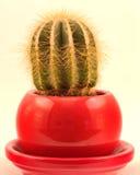 Liten kaktus i en röd kruka Arkivbilder