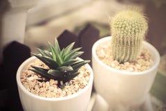 Liten kaktus i en vit kruka Arkivbilder