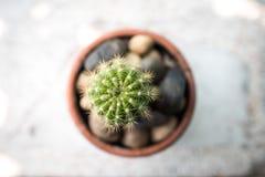 Liten kaktus i koppen Fotografering för Bildbyråer
