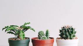 Liten kaktus i kruka på vit bakgrund Arkivfoto
