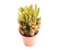 Liten kaktus i krus på vit bakgrund Royaltyfri Bild