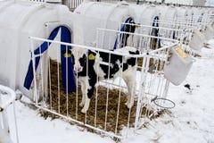 Liten kalv på en mejerilantgård lantbruk royaltyfri fotografi