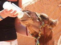 liten kamel Arkivbilder