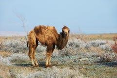 liten kamel Arkivfoto