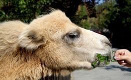 Liten kamel Royaltyfri Foto