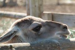 Liten kamel Royaltyfria Foton