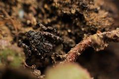 Liten kamouflerad spindel Arkivfoton