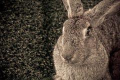 Liten kanin Arkivbild