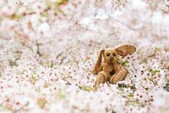 Liten kanin i vår med den körsbärsröda blomman sakura för blomning Arkivfoton