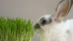 Liten kanin som äter aktivt grönt organiskt gräs, källan av vitaminer, husdjur shoppar stock video