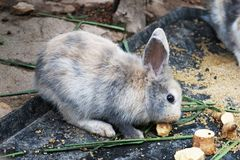 Liten kanin som äter potatisar royaltyfri fotografi